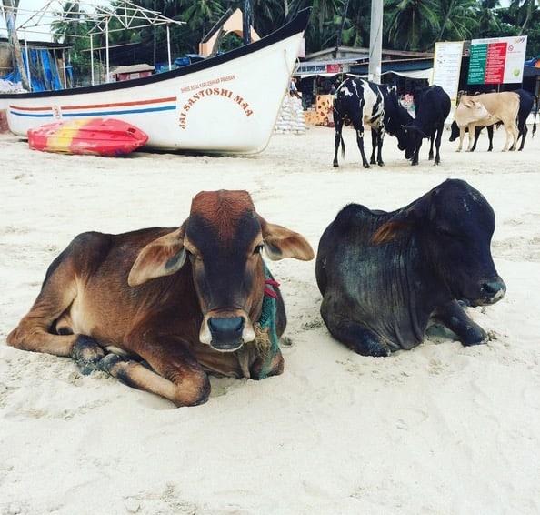 Kossor vilar på stranden i Palolem.